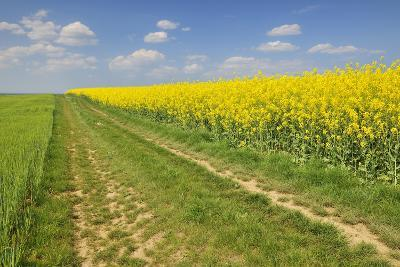 Rape Field, Way, Spring, Wenigumstadt (District), Bavaria, Germany-Raimund Linke-Photographic Print