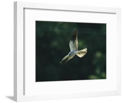 Raptor in Flight-Klaus Nigge-Framed Photographic Print