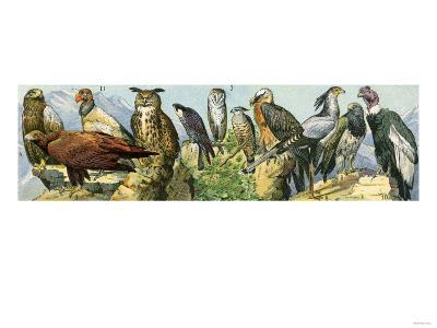 Raptors: Eagle, Owls, a Condor and Other Birds of Prey--Giclee Print