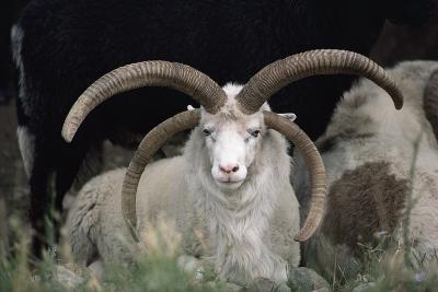 Rare Breed Domestic Churro Sheep, New Mexico-John Cancalosi-Photographic Print