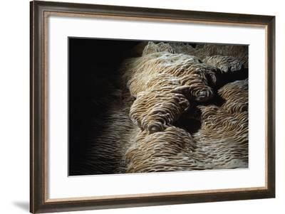 Rare Calcite Deposits Called Folia, Grow on the Walls of a Cave-Michael Nichols-Framed Photographic Print