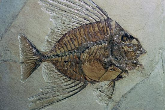 Rare fossilised fish. Artist: Unknown-Unknown-Photographic Print