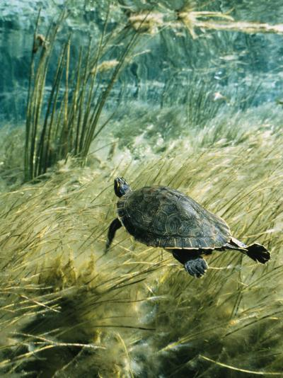 Rare Suwannee Cooter Turtle Swims through Clear Florida Waters-Bill Curtsinger-Photographic Print