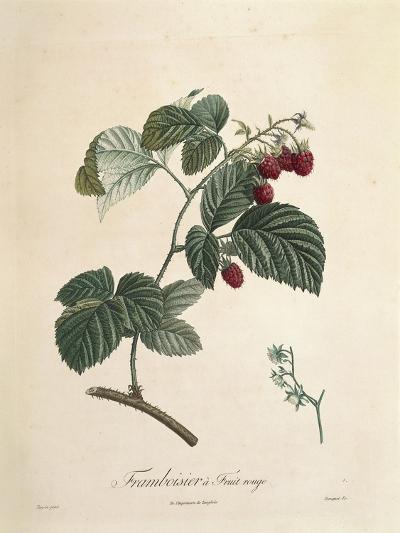 Raspberry-Pierre Joseph Redoute-Giclee Print