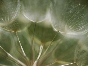 A Close View of a Dandelion Seed Head by Raul Touzon