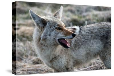 A Coyote, Canis Latrans, in Yellowstone National Park