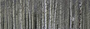 A Dense Aspen Forest by Raul Touzon