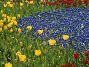 A Garden of Colorful Tulips and Grape Hyacinths in New York City by Raul Touzon