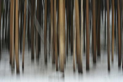 A Pine Forest in Yellowstone National Park by Raul Touzon