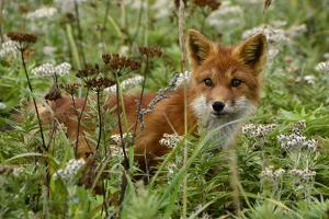 A Red Fox on Atlasova Island in the Sea of Okhotsk by Raul Touzon