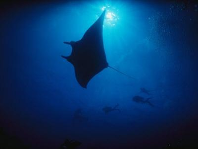 A Silhouetted Manta Ray Swims in Deep Blue Water by Raul Touzon