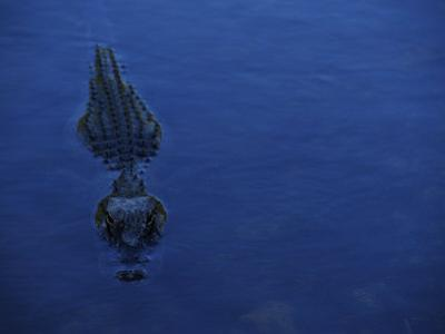 Alligator Swimming by Raul Touzon