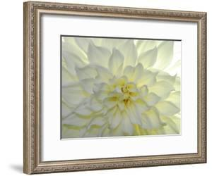 Close Up of a White Dahlia Flower by Raul Touzon