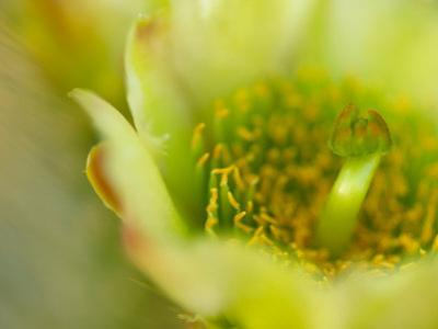Close View of a Teddy Bear Cholla Cactus Flower by Raul Touzon