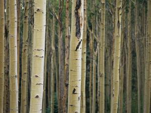Close View of Tree Trunks in a Stand of Birch Trees by Raul Touzon