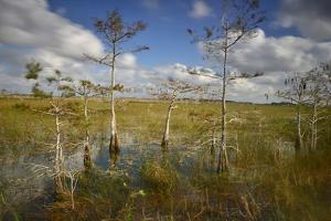 Cypress Trees in Everglades National Park Near Florida City by Raul Touzon