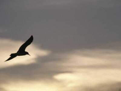 Flying Seagull in Silhouette by Raul Touzon