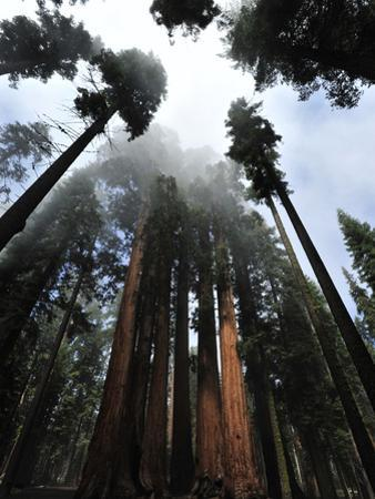 Giant Sequoia Trees and Fog by Raul Touzon