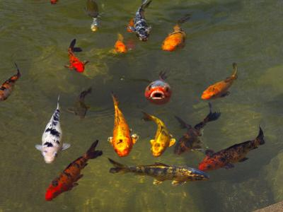 Koi Fish in a Pond by Raul Touzon