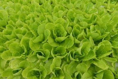 Lettuce Grown Hydroponically by Raul Touzon
