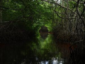 Mangrove Trees by Raul Touzon