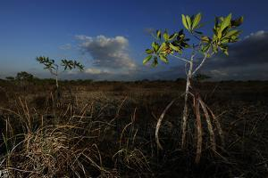 Mangroves in the Everglades by Raul Touzon