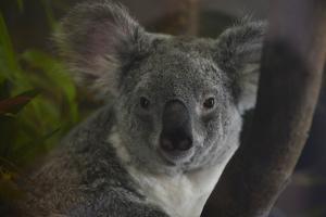 Portrait of a Koala at the Miami Metro Zoo by Raul Touzon