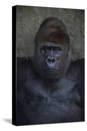 Portrait of a Western Lowland Gorilla at the Miami Metro Zoo