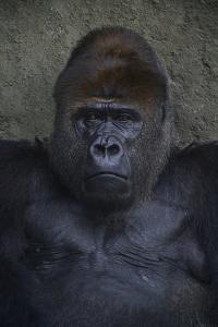 Portrait of a Western Lowland Gorilla at the Miami Metro Zoo by Raul Touzon