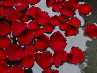 Red Rose Petals Floating on the Surface of Water