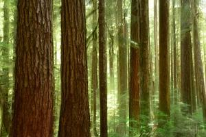 Sitka Spruce Forest in Sol Duc Rainforest by Raul Touzon