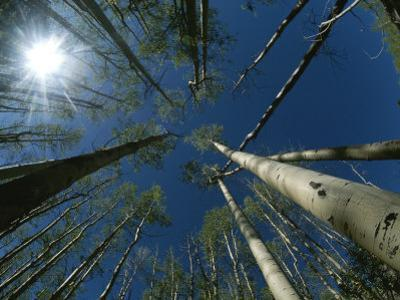 Skyward View of a Sunburst Through Towering Aspen Trees by Raul Touzon
