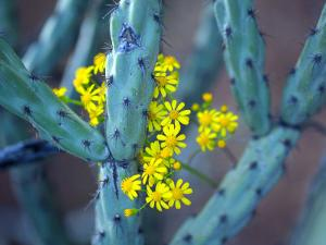 Staghorn Cholla Cactus and Desert Brittle Bush Flowers by Raul Touzon