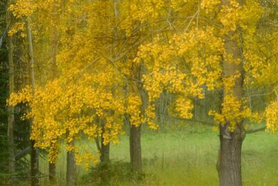 View of Aspen Trees in Alberta, Canada by Raul Touzon