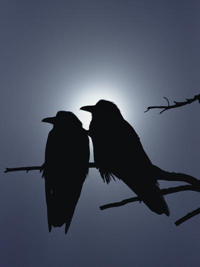 Raven (Corvus Corax) Pair Perching on a Branch, Backlit by Filtered Sunlight-Michael S^ Quinton-Photographic Print