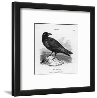 Raven (Corvus Corax) Perching on a Rock