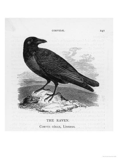 Raven (Corvus Corax) Perching on a Rock--Giclee Print