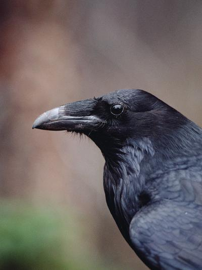 Raven (Corvus Corax), Yellowstone National Park, Wyoming-Michael S^ Quinton-Photographic Print