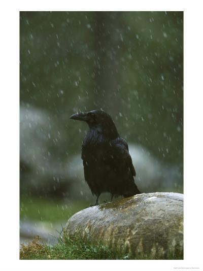 Raven, Perched on Rock in Falling Snow, Yellowstone National Park, USA-Mark Hamblin-Photographic Print