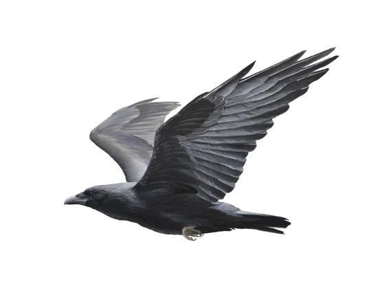 Raven-Todd Telander-Art Print