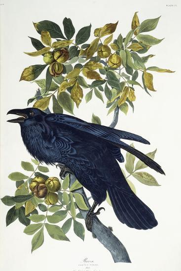 Raven-John James Audubon-Giclee Print
