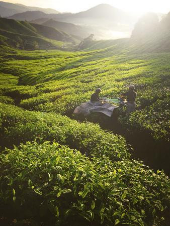 Tea Pickers Agriculture Growth Harvest Plantation Concept