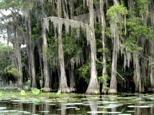 Moss Covered Bald Cypress Trees, Caddo Lake, TX by Ray Hendley