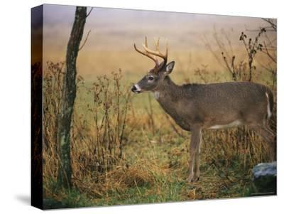 A 8-Point White-Tailed Deer Buck on a Foggy Morning