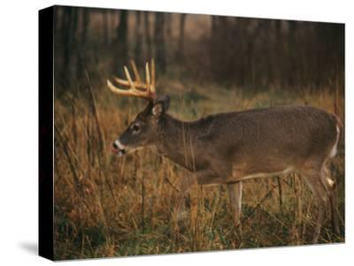 A 8-Point White-Tailed Deer Buck