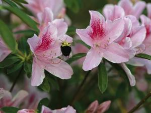 A Bumblebee Visits an Azalea Blossom by Raymond Gehman