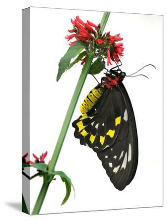 A Butterfly Clings to a Red-Flowered Green Stalk