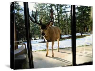 A Curious Mule Deer Peers Inside a Hotel Room in Banff