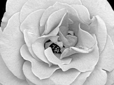 A Delicate and Splendid Rose Opens Up Her Petals