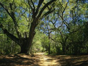 A Dirt Road Through a Forest Passes a Large Tree with Spanish Moss by Raymond Gehman